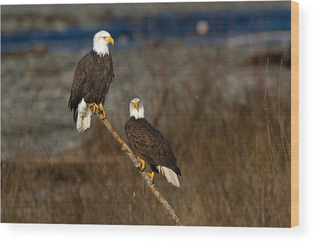 Bald Eagle Wood Print featuring the photograph Room For Two by Shari Sommerfeld