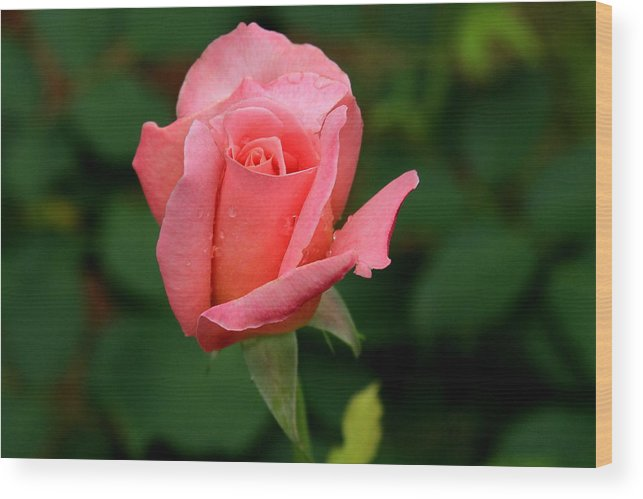Rose Wood Print featuring the photograph Rosey by Reid Callaway