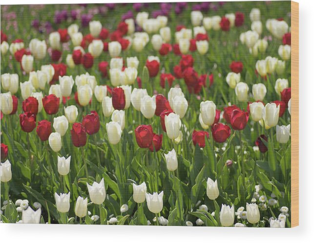 Flower Wood Print featuring the photograph Rouge Et Blanche by Rosanne Casu