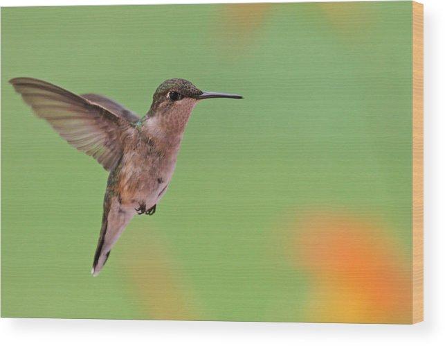 Ruby-throated Hummingbird Wood Print featuring the photograph Ruby-throated Hummingbird by Jaron Wood