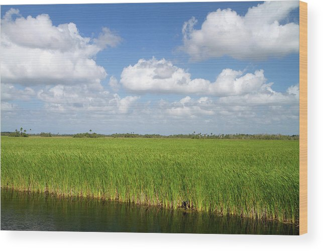 America Wood Print featuring the photograph Sawgrass In The Florida Everglades by David R. Frazier