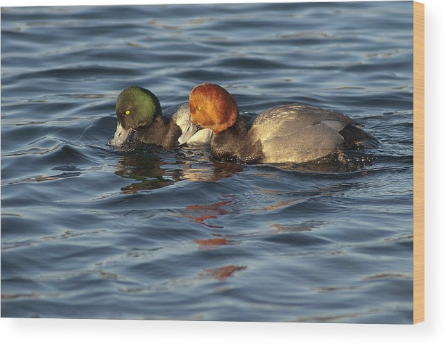 Redhead Duck Wood Print featuring the photograph Scaup And Redhead Couple by Ward McGinnis