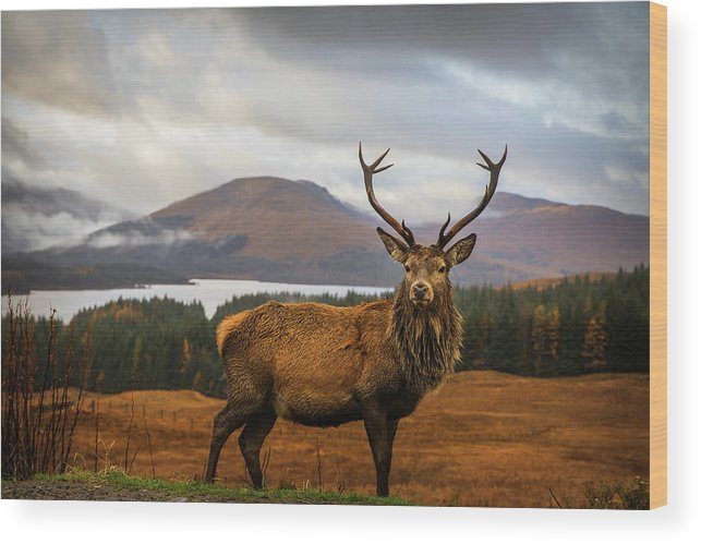 Stag Wood Print featuring the photograph Scottish Stag by Adrian Popan