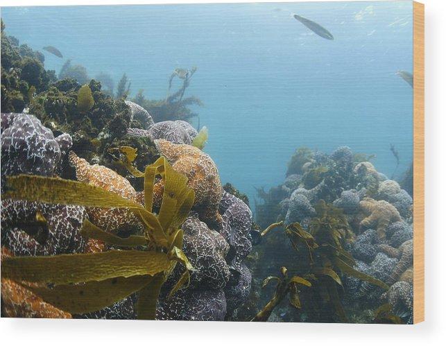Sea Star Wood Print featuring the photograph Sea Stars by David McErlean
