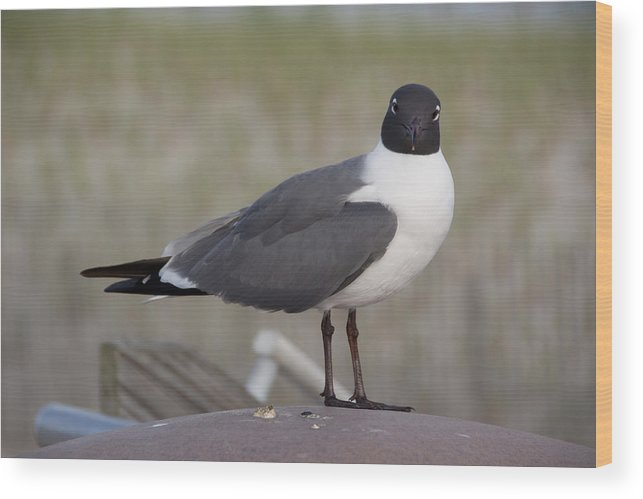 Seagull Wood Print featuring the photograph Seagull by Kevin Jarrett