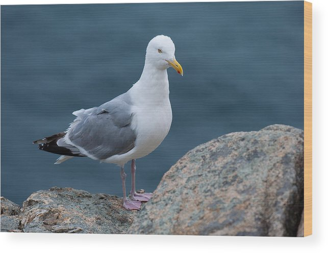 Acadia National Park Wood Print featuring the photograph Seagull by Sebastian Musial