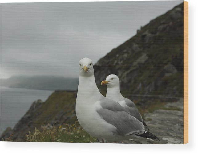 Critters And Creatures Wood Print featuring the pyrography Seagulls In Ireland by Barry Shepherd