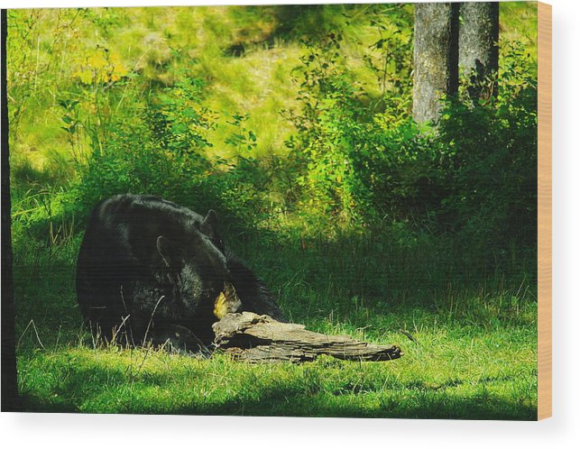 Bears Wood Print featuring the photograph Searching For That Last Termite by Jeff Swan