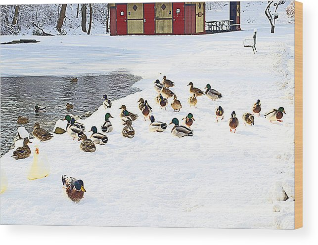 Duck Wood Print featuring the photograph Seriously? Go Into The Water? by Luther Fine Art