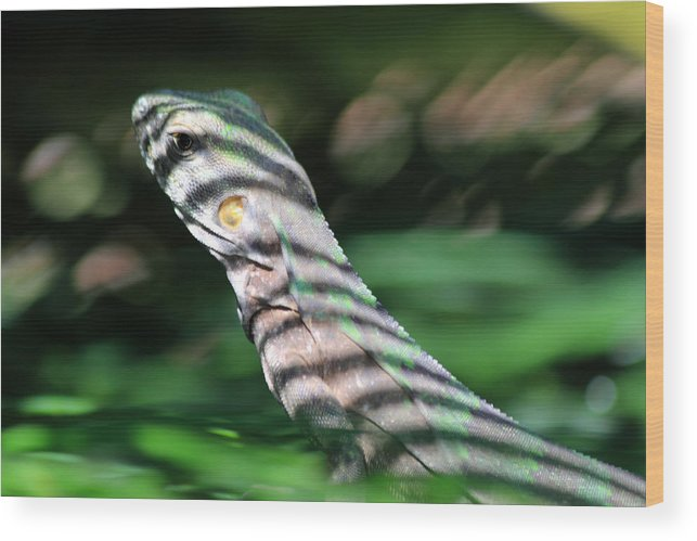 Iguana Wood Print featuring the photograph Shadow Stripes by Shane Bechler