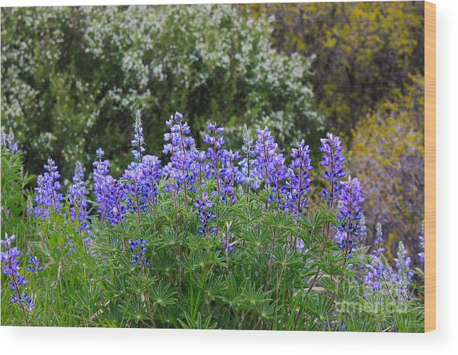 Herb Wood Print featuring the photograph Silvery Lupine Black Canyon Colorado by Janice Pariza
