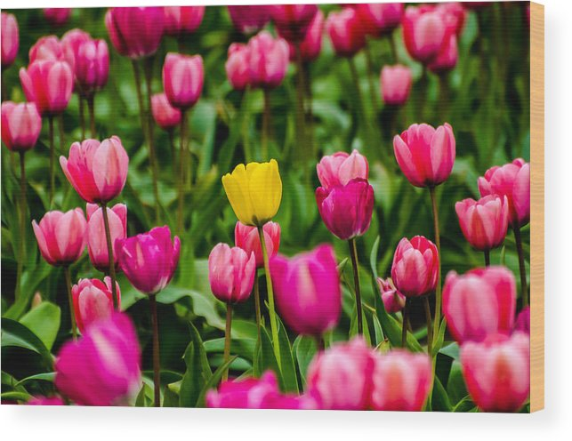 Tulip Wood Print featuring the photograph Single Yellow Tulip by Puget Exposure