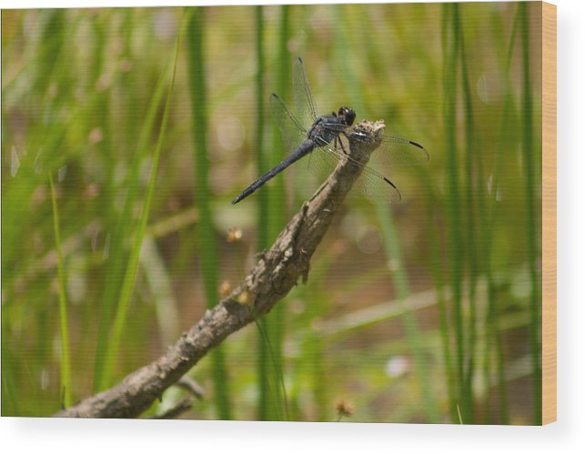 Slaty Skimmer Wood Print featuring the photograph Slaty Skimmer Sunning by Michael Porchik