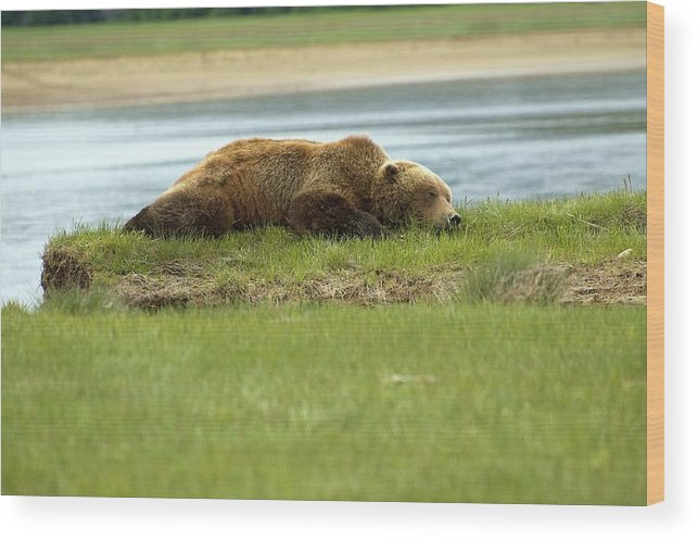 Bears Wood Print featuring the photograph Sleeping Bear by Jeffrey Akerson