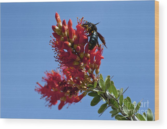 Big Bend Ranch State Park Texas Bee Bees Creature Creatures Flower Flowers Bloom Blooms Ocotillo Cactus Cacti Spring Wood Print featuring the photograph Snack Time by Bob Phillips