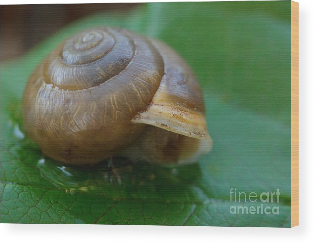 Snail Wood Print featuring the photograph Snail On Leaf by Sharon Gartrell