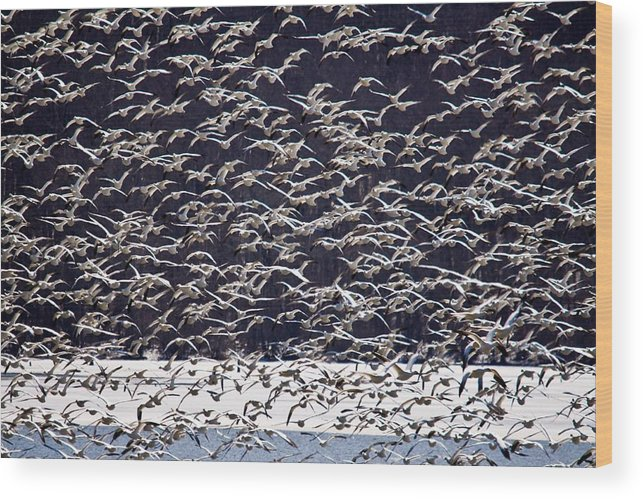 Middle Creek Reserve Wood Print featuring the photograph Snow Geese by David Simons