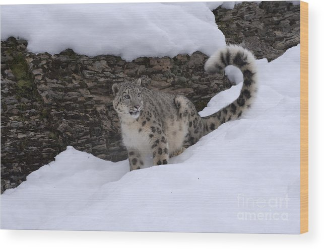 Snow Leopard Wood Print featuring the photograph Snow Leopard by Sandra Bronstein