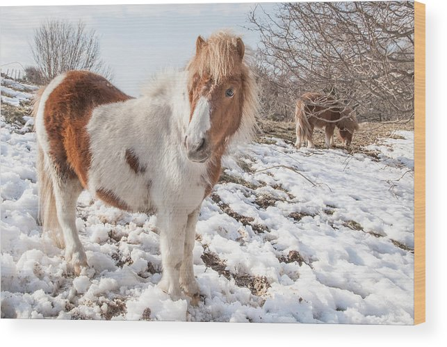 Landscape Wood Print featuring the photograph Snow Ponies - Colour by Christine Smart