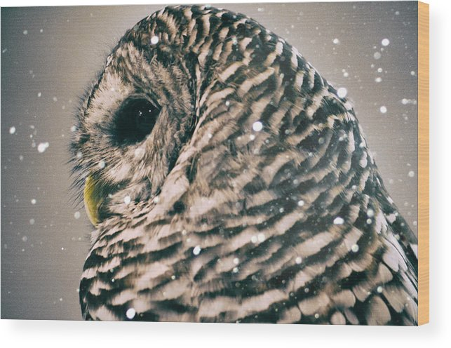 Snowy Owl Wood Print featuring the photograph Snowy Owl In Snow Storm -- Blizzard by Lynn Langmade