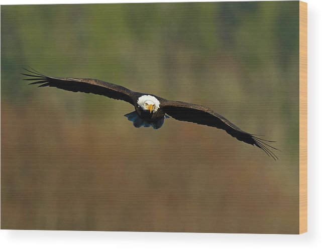 Bald Eagle Wood Print featuring the photograph Soaring High by Shari Sommerfeld