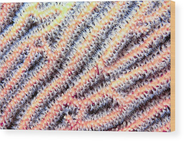 Micronesia Wood Print featuring the photograph Soft Corals 10 by Dawn Eshelman