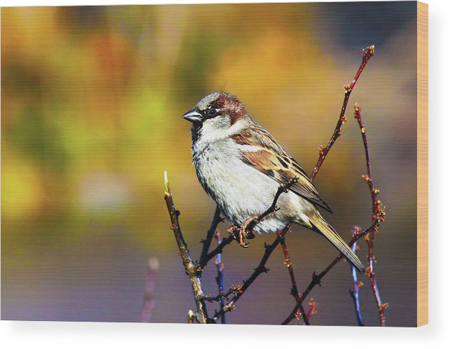 Adorable Wood Print featuring the photograph Sparrow In The Park by Artistic Photos