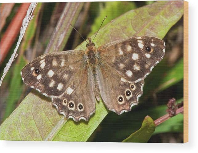 Plant Wood Print featuring the photograph Speckled Wood Butterfly On A Leaf by Dr. John Brackenbury/science Photo Library