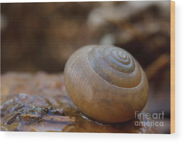 Snail Wood Print featuring the photograph Spiral by Sharon Gartrell