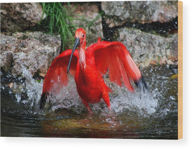 Red Ibis Wood Print featuring the photograph Splish Splash - Red Ibis by Christiane Schulze Art And Photography