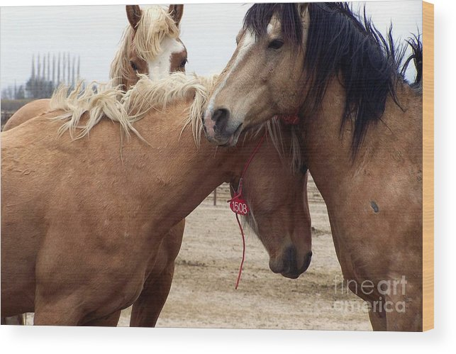 Captive Wild Stallions Wood Print featuring the photograph Stallions Held Captive Stick Together In Tough Times by Craig Downer