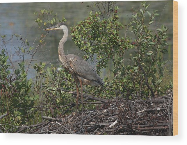 Great Blue Heron Wood Print featuring the photograph Standing Tall by Teresa McGill