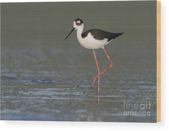 Black Necked Stilt Wood Print featuring the photograph Stilt In Duckweed by Bryan Keil