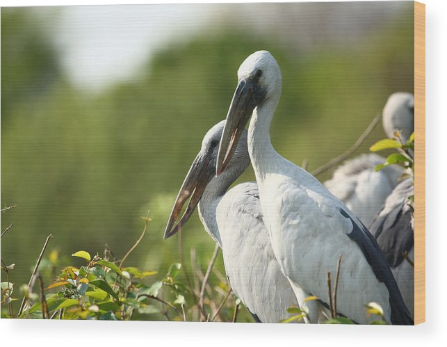 Birds Wood Print featuring the photograph Storks Nesting In The Treetops by Nila Newsom