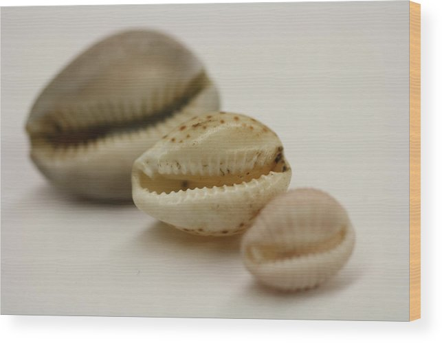Seashell Wood Print featuring the photograph Succession by Brianna Black