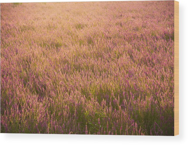 Purple Loosestrife Wood Print featuring the photograph Summer Flowers by Kunal Mehra