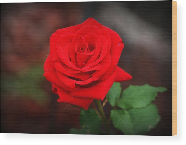 Red Rose Wood Print featuring the photograph Summer Rose by Kay Novy