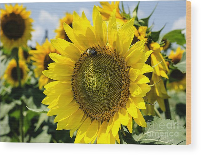 Sunflower Wood Print featuring the photograph Sun On The Sunflower by Paul Mashburn