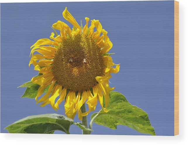 Sunflower Wood Print featuring the photograph Sunflower At Latrun by Dubi Roman