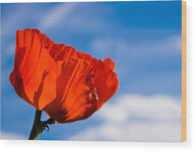 3scape Photos Wood Print featuring the photograph Sunlit Poppy by Adam Romanowicz