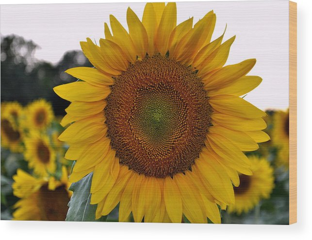 Wood Print featuring the photograph Sunny Face by Jean Hutchison