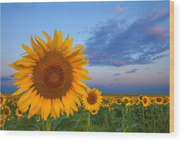 Sunflowers Wood Print featuring the photograph Sunny Side Up by Darren White