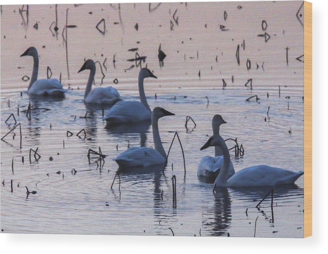 Swan Wood Print featuring the photograph Swan At Dusk by Jill Bell