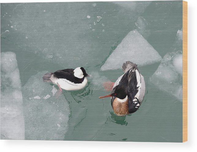 Bufflehead Wood Print featuring the photograph Swimming With Ice by Ian Ashbaugh