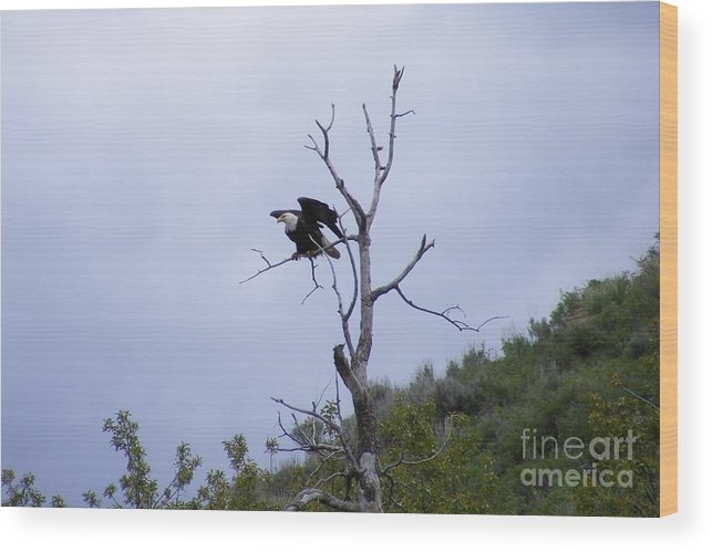 Bald Eagle Wood Print featuring the photograph Taking Flight by Woody Wilson