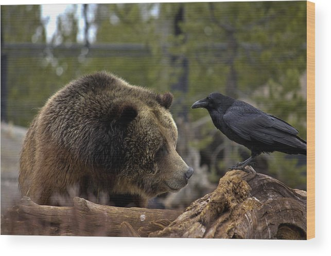 Bear Wood Print featuring the photograph The Bear And Crow by Jolie Chantharath