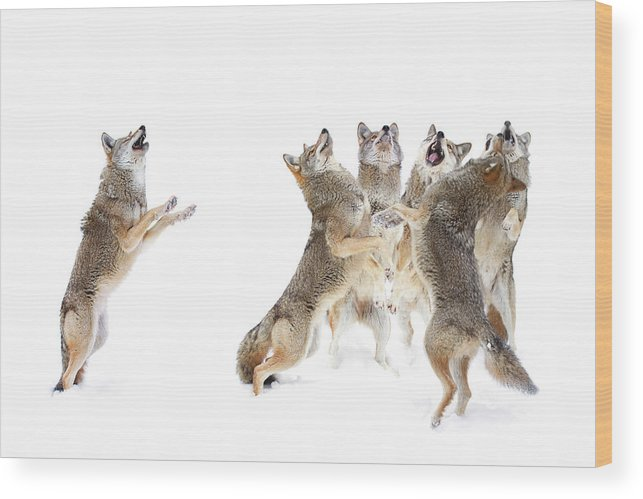 Coyotes Wood Print featuring the photograph The Choir - Coyotes by Jim Cumming