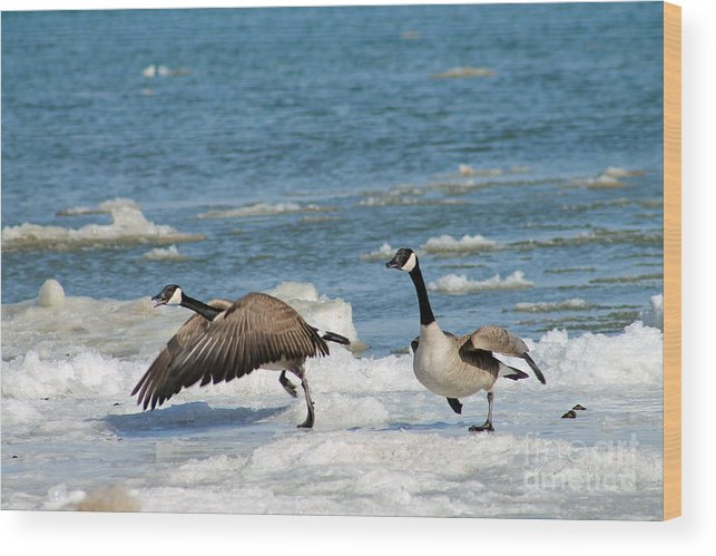 Goose Wood Print featuring the photograph The Getaway Or Silly Goose by Eric Curtin