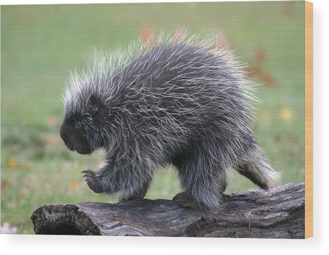 Porcupine Wood Print featuring the photograph The Porcupine Walk by Cheryl Cencich