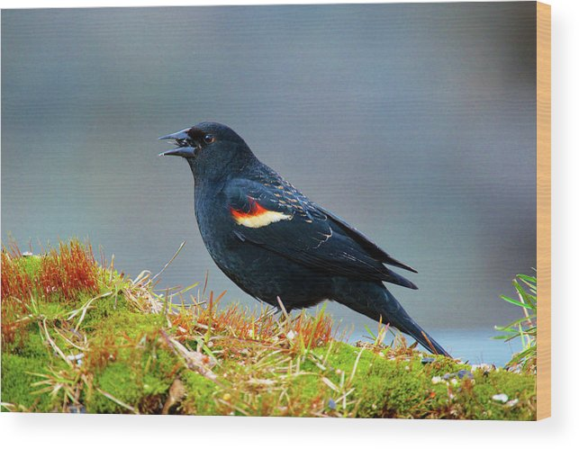 Agelaius Phoeniceus Wood Print featuring the photograph The Red-winged Blackbird (agelaius by Richard Wright